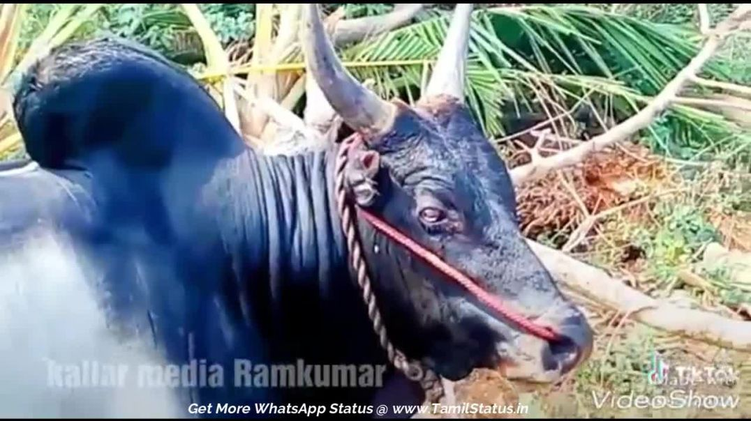 Jallikattu (mattu pongal) whatsapp status video download || Tamil status